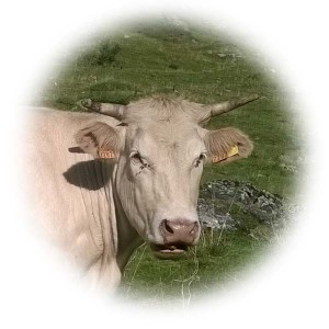 tete-vache